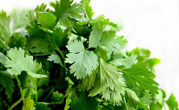 Ervas e plantas medicinais: Salsinha