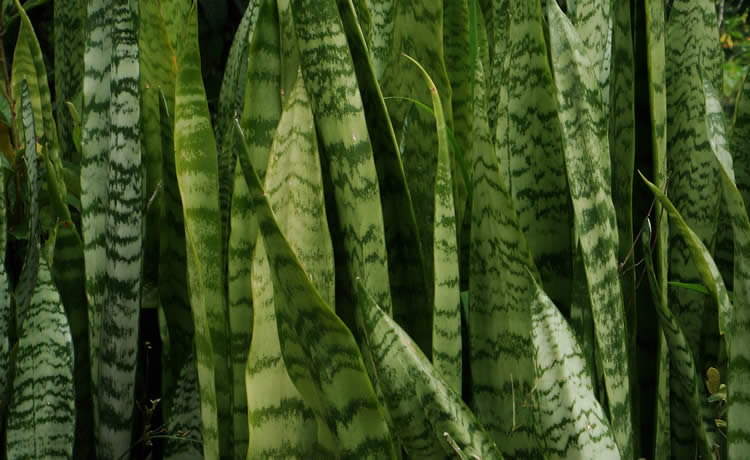 Conhe a onze plantas que crescem mesmo sob a sombra for Plantas de interior lengua de gato