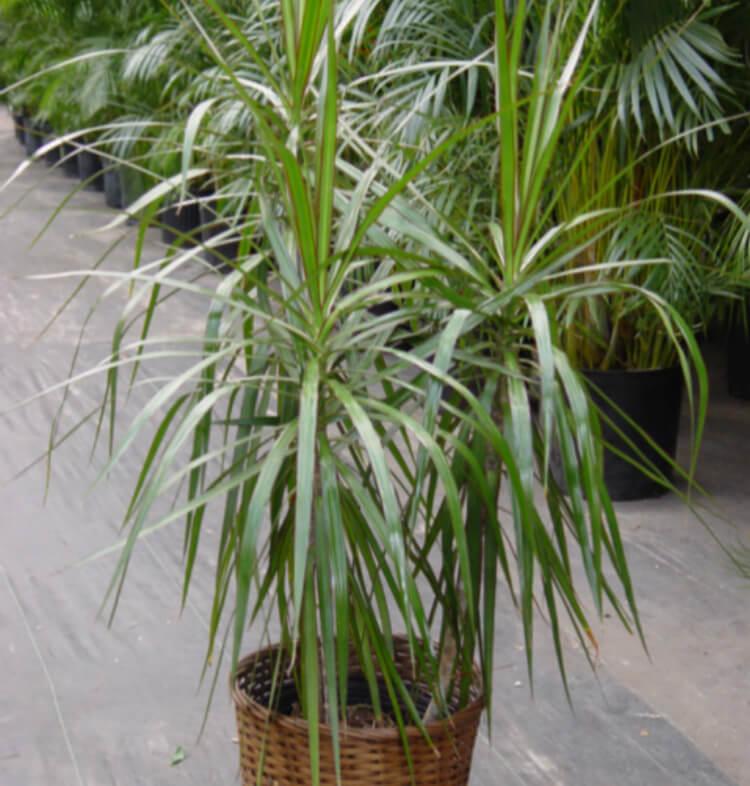 Dracena (Dracaena marginata)