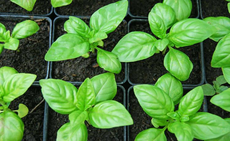 Manjericão: benefícios, como usar e plantar