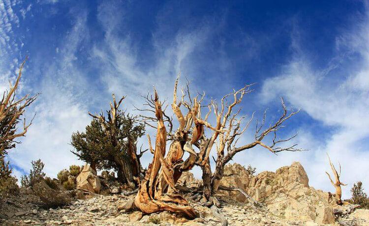 Ancient Bristlecone Pine Forest, Califórnia, Estados Unidos